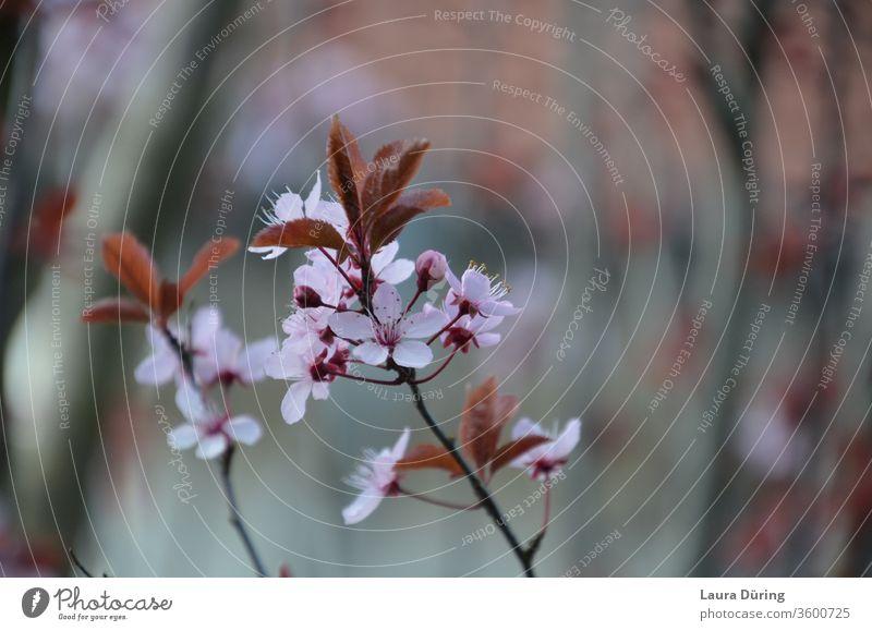 Rosa Blüten einer Blutpflaume rosa Frühling Garten Nahaufnahme Detailaufnahme schön Außenaufnahme ästhetisch Schönheit natürlich Duft zart fein filigran Natur