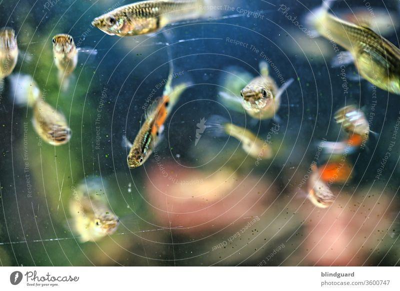 Freitags gibt's Fisch. Neugierige Guppys (Poecilia reticulata) schauen durch die Scheibe des Aquariums schnell Bewegung Bewegungsunschärfe