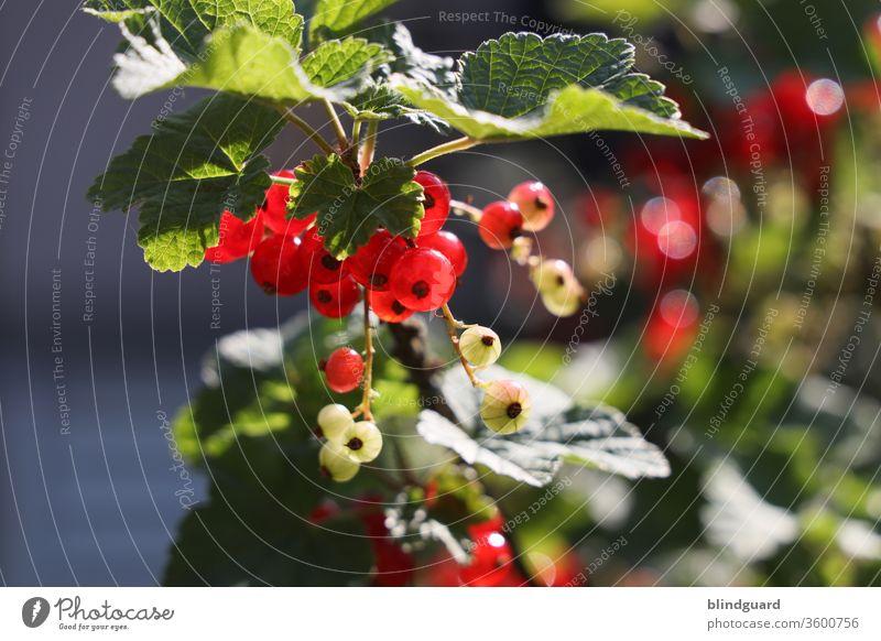 Rote Johannisbeeren im eigenen Garten. Süß-saurer, vitaminreicher Sommergenuss und hervorragend geeignet für Marmelade, Cocktails, Longdrinks, Kuchen, Aufgesetzten oder natürlich einfach vom Strauch naschen.