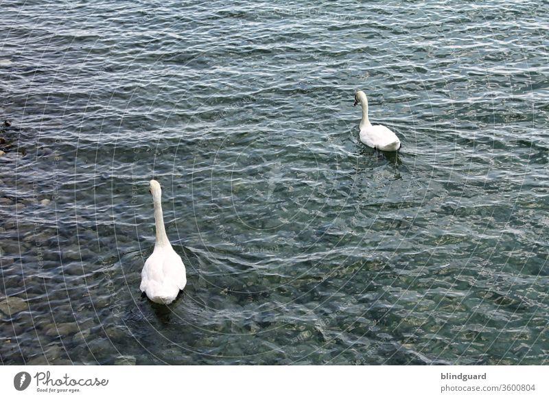 Mir SCHWANt nix gutes Schwan Schwäne Wasservögel zierlich Vogel See Tier Flügel Fluss Natur weiß Feder Schwanensee Schnabel Stolz Im Wasser treiben Wellen