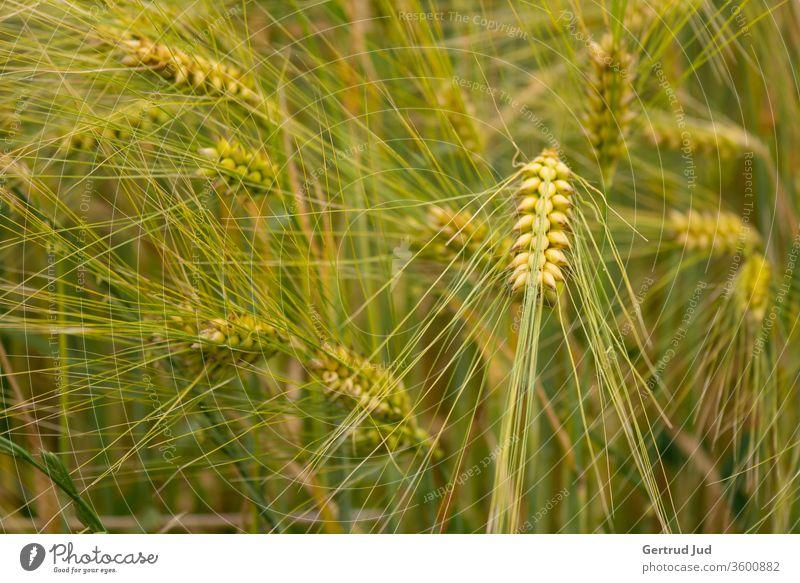 Wogendes Getreide Getreidefeld Getreidehalm Sommer sommerlich Feld Feldflora rispen summerfeeling wogendes Getreide Ähren ährenfeld Landwirtschaft