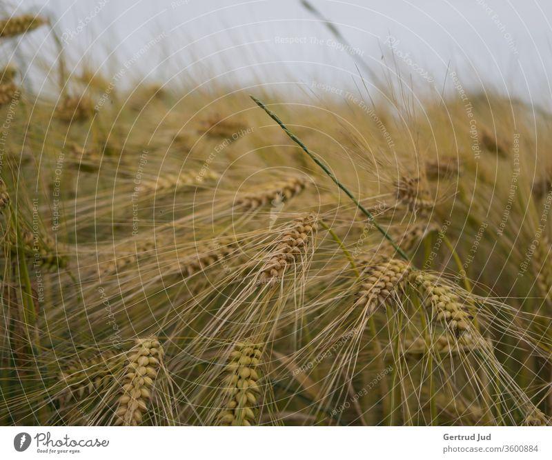 Sommerliches Getreidefeld Getreidehalm getreidehalme sommerlich Feld Feldflora Feldfrüchte rispe summerfeeling wogendes Getreide Ähren ährenfeld Landwirtschaft