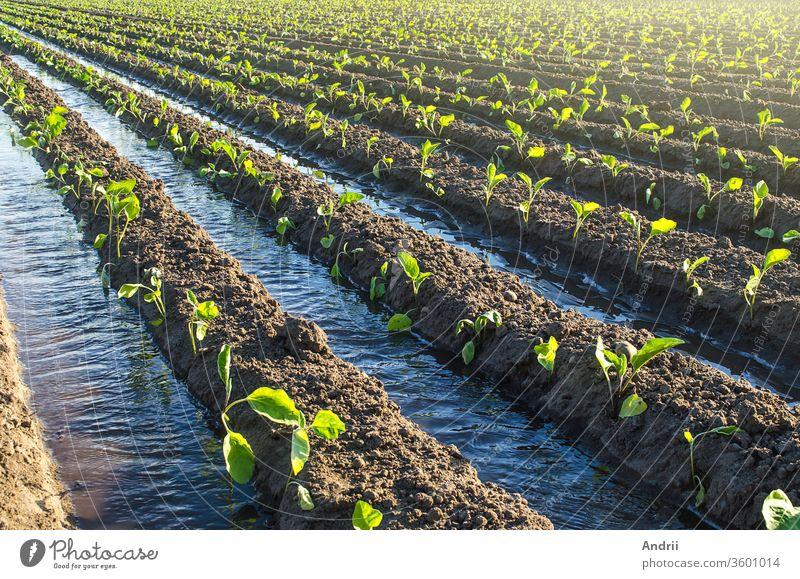 Die Pflanzung junger Auberginensetzlinge wird durch Bewässerungskanäle bewässert. Europäischer Bauernhof, Landwirtschaft. Pflege von Pflanzen, Anbau von Lebensmitteln. Landwirtschaft und Agrobusiness. Landwirtschaft. Ländlicher Raum