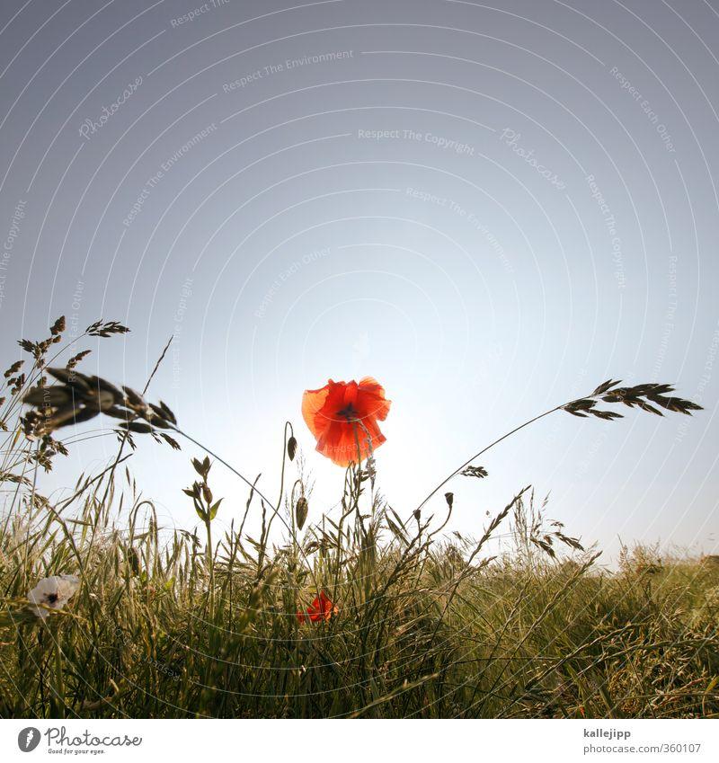 klatsche Umwelt Natur Landschaft Pflanze Tier Luft Wolkenloser Himmel Blume Gras Blatt Blüte Feld Blühend rot Mohn Klatschmohn Sommer Allergie Heuschnupfen