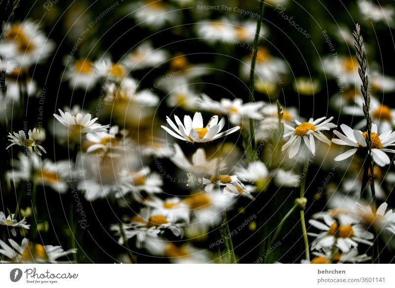 kleinigkeiten Margarite traurig melancholisch Natur Pflanze Frühling Blüte Blatt Gras Blume Schönes Wetter Herbst Sommer Garten Park Wiese Feld Blühend Duft