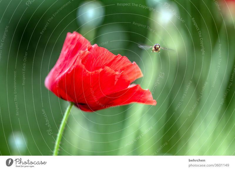landeplatz Kontrast grün Tierporträt Wildtier Schwebfliege Farbfoto Frühling wunderschön Natur Pflanze rot Außenaufnahme Sommer Duft duftend blühen Blüte Blume