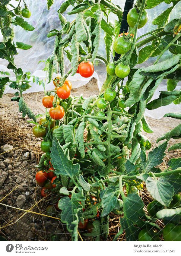 eigenes Bio-Gemüse anbauen: Tomaten Tomatenpflanze Tomatenplantage Garten Gemüsegarten Gemüseanbau Vegetarische Ernährung Bioprodukte Lebensmittel frisch