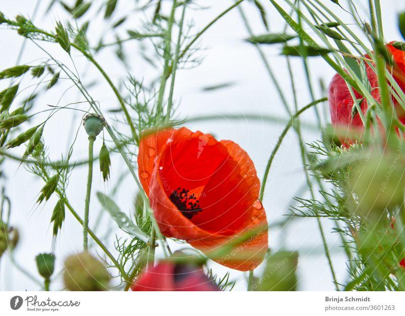 Die Blüte eines schönen roten Mohns in einer Wildblumenwiese aus der Froschperspektive, Biodiversität und Artenvielfalt lebhaft Maisrose malerisch hell Reinheit