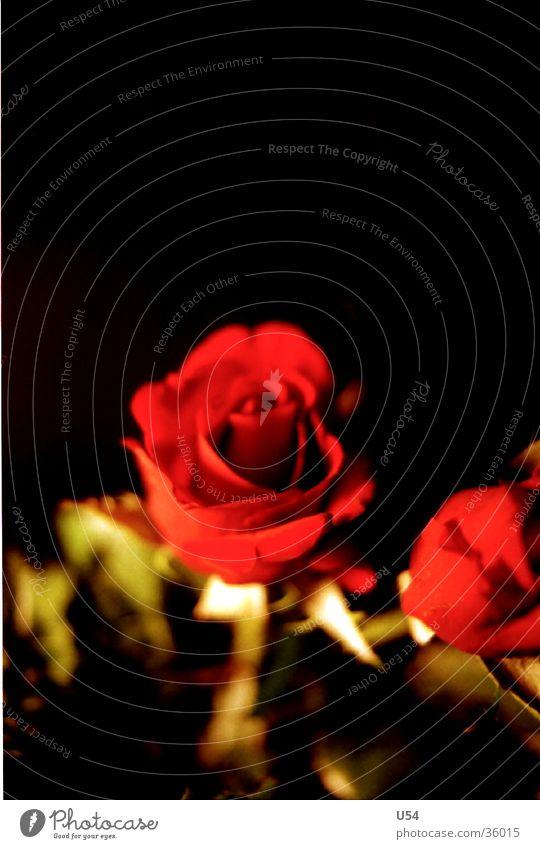 Rosè Blume Pflanze Rose Blüte Frühling Blühend rot Stengel Natur Leben Sonne Valentinstag