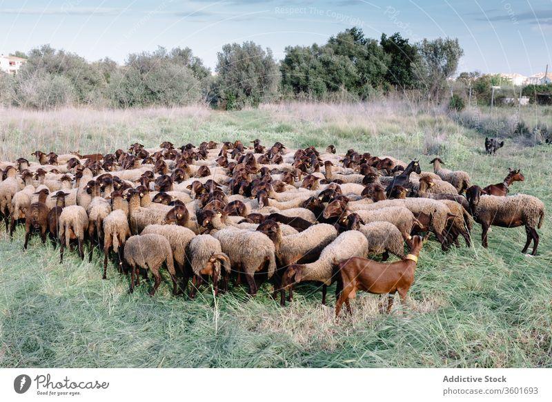 Auf der grünen Wiese weidende Schafherde Hund Feld Weide Herde Schwarm heimisch Landschaft Tier Natur ländlich Haustier Bauernhof sonnig Gras Kreatur züchten
