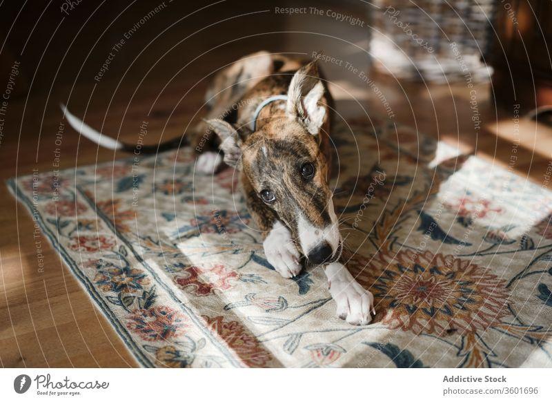 Spanischer Windhund zu Hause auf Teppich spanischer Galgo Hund spanischer Windhund heimwärts niedlich Lügen gemütlich heimisch Haustier Eckzahn bezaubernd Stock