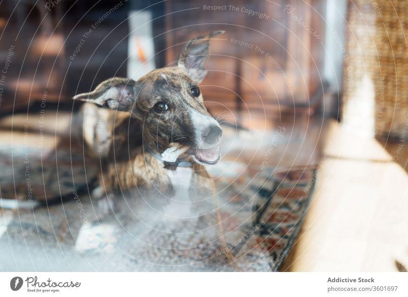 Spanischer Windhund zu Hause auf Teppich Hund schlafen spanischer Galgo Welpe spanischer Windhund heimwärts Kissen Lügen niedlich weich heimisch gemütlich