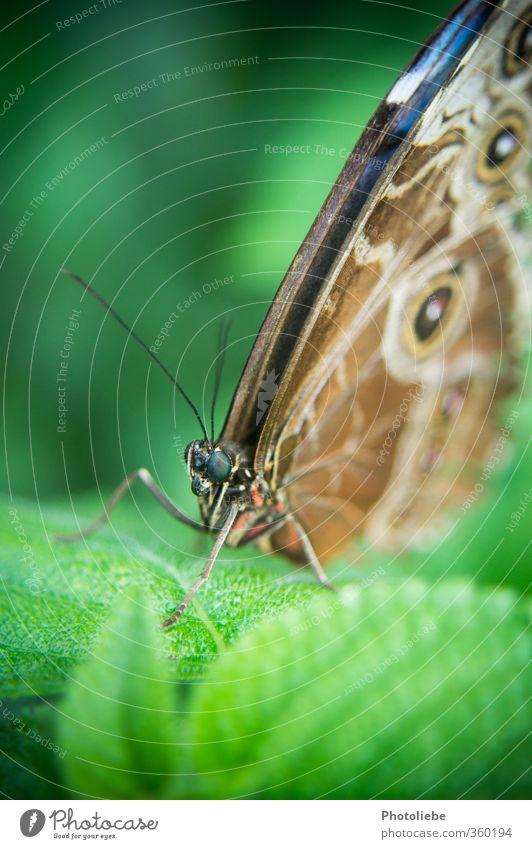 Butterfly Tier Schmetterling Tiergesicht Flügel Zoo 1 exotisch einzigartig Neugier schön braun grün schwarz friedlich Wachsamkeit ruhig ästhetisch Idylle Natur