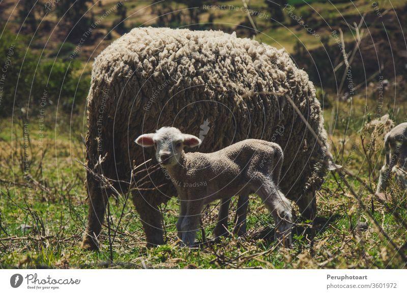 Ein kleines Schaf und seine Mutter Lamm Tier Bauernhof weiß wenig Natur füttern jung Hintergrund niedlich blau Frühling Baby fluffig Wolle Viehbestand Himmel