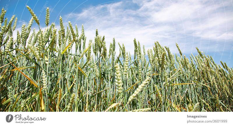 Weizenfeld gegen blaue Wolken - Himmel. Anbau von Getreide - Weizen. Konzept der Landwirtschaft landwirtschaftliches Feld Hintergründe Gerste