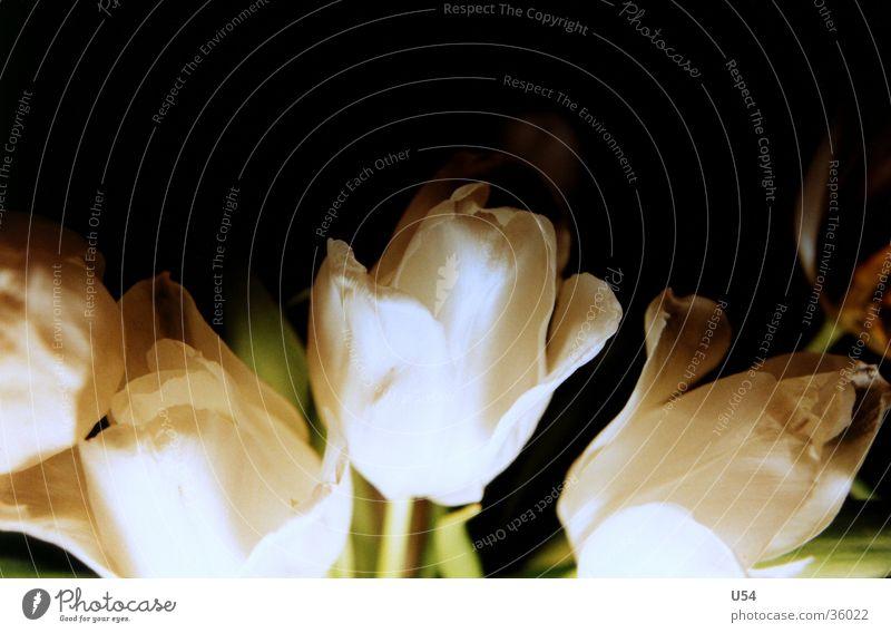 Welk #2 Blume Pflanze Blatt Blüte Stengel Blühend Tulpe verblüht