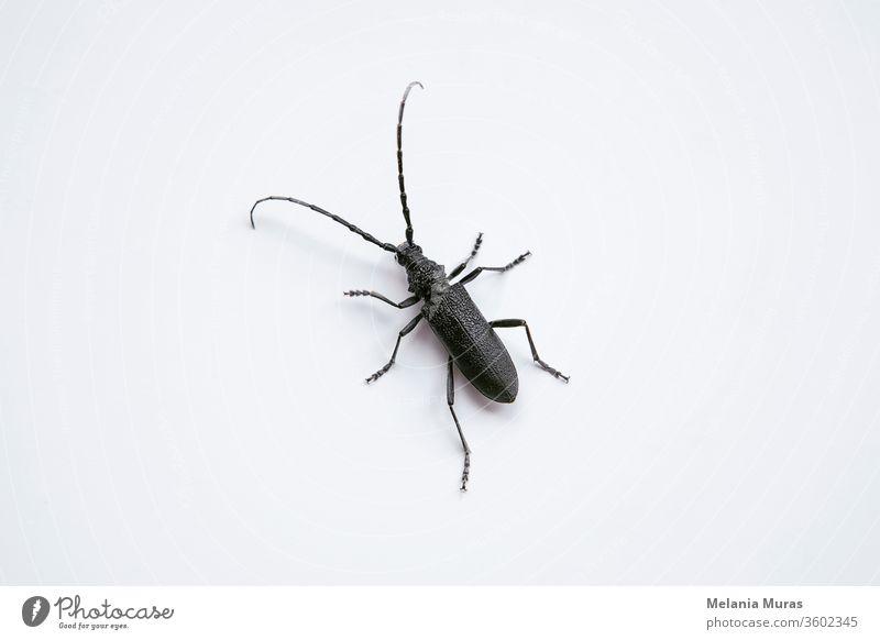 Bockkäfer auf weißem Hintergrund. Makrofotografie eines schwarzen Insekts mit langen Fühlern Saperda inornata. Tier Antennen Käfer Bohrer braun Wanze schließen