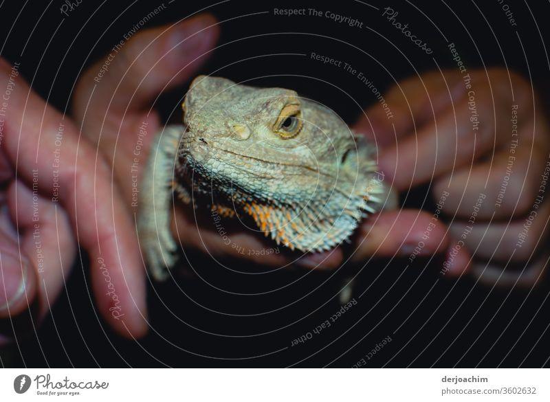 Ein Hand zahmer Leguan. Sitzt verträumt und ruhig in der Hand. Er schaut zum Betrachter.  Sie können bis zu 25 Jahre alt werden. Farbfoto Tierporträt Reptil