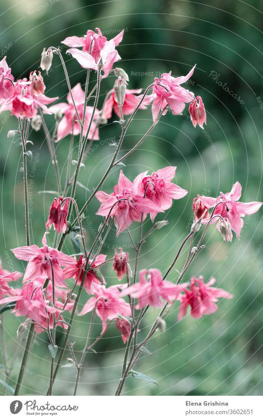 Rosa Aquilegia-Blüte in Nahaufnahme. Akelei rosa Blumen Überstrahlung Blütenblatt Blütezeit Sommer geblümt Hintergrund natürlich Gartenarbeit schön grün