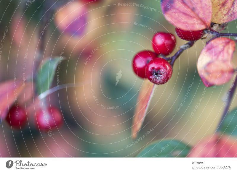 Farbenprächtige Erinnerungen Umwelt Natur Pflanze Herbst Wetter Sträucher Blatt glänzend rund saftig trocken grün rot Beeren Zweig Unschärfe Stern (Symbol)