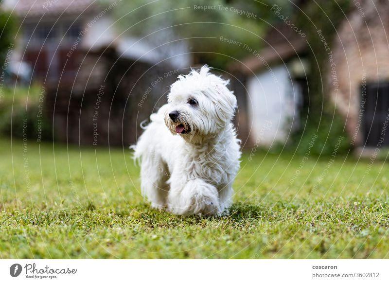 Maltesischer Hund an einem Frühlingstag bezaubernd Tier Hintergrund schön züchten Eckzahn heiter niedlich Hündchen in Bewegung heimisch domestiziert Wald
