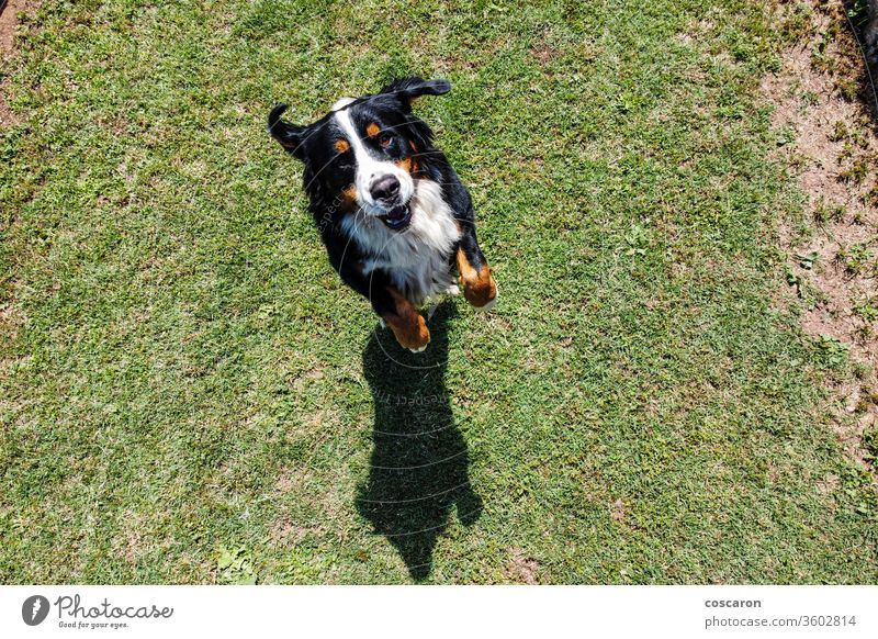 Berner Sennenhund springt. Ansicht von oben Aktion aktiv bezaubernd Tier Hintergrund schön groß schwarz züchten Eckzahn niedlich Hund heimisch genießen Freund