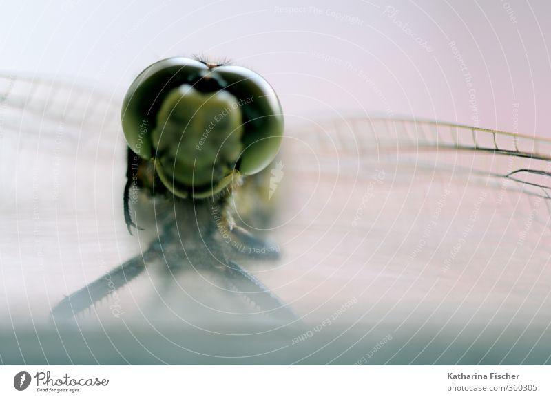 Begegnung der anderen Art Tier Tiergesicht Flügel Libelle 1 braun gelb grau grün rosa schwarz weiß Libellenflügel Auge Insekt Schönheit Lebewesen Natur