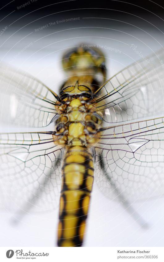 Libelle Tier Wildtier 1 dünn exotisch braun gold grau grün schwarz weiß Flügel Libellenflügel natur Naturwunder schön Farbfoto Außenaufnahme Nahaufnahme