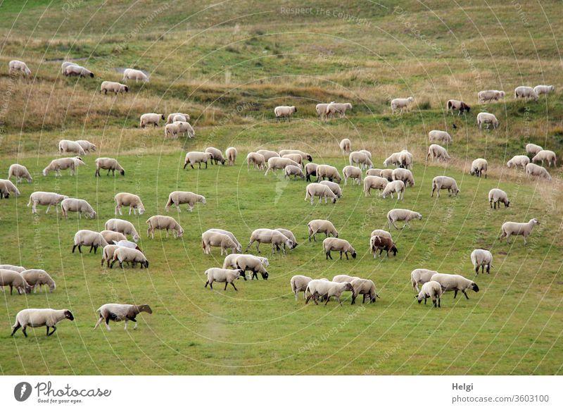 Schafherde grast auf einer großen Wiese Tier Nutztier Herde Tiergruppe Landschaft Wolle Natur Umwelt Weide Landwirtschaft Schafe Außenaufnahme Farbfoto