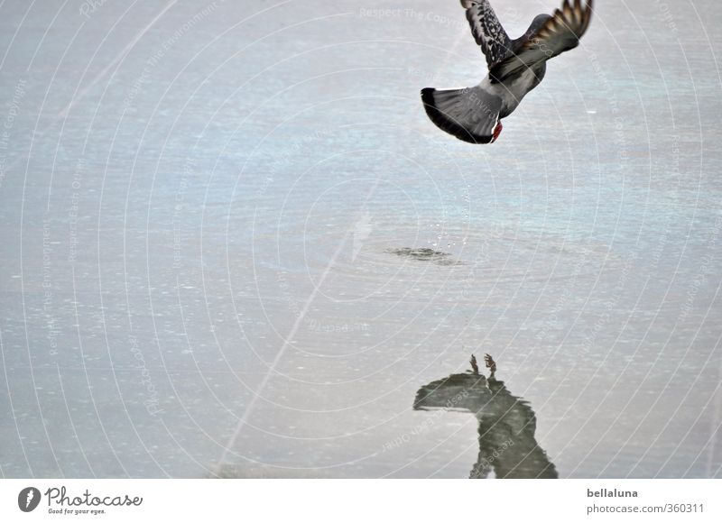 Aufbruch... Wasser Tier Wildtier Vogel Taube Flügel 1 fliegen blau grau Freiheit Pfütze Farbfoto Gedeckte Farben Außenaufnahme Menschenleer Textfreiraum links