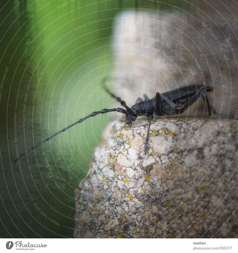 giant grün Tier grau Stein Wildtier laufen Käfer Fühler