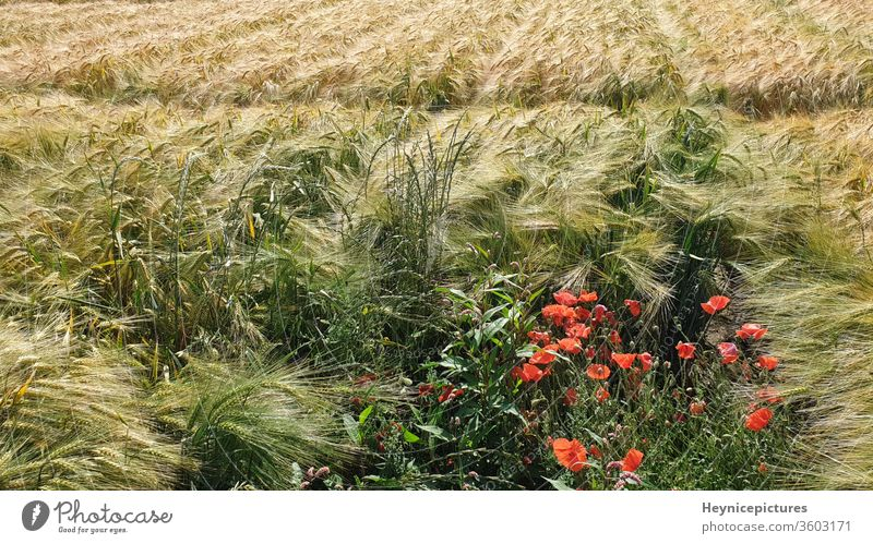 Maisfeld mit Mohnblumen Landwirtschaft im Freien Blume Natur Sommer hell Pflanze Feld geblümt Saison Flora natürlich Blüte Blütezeit Blütenblatt Landschaft