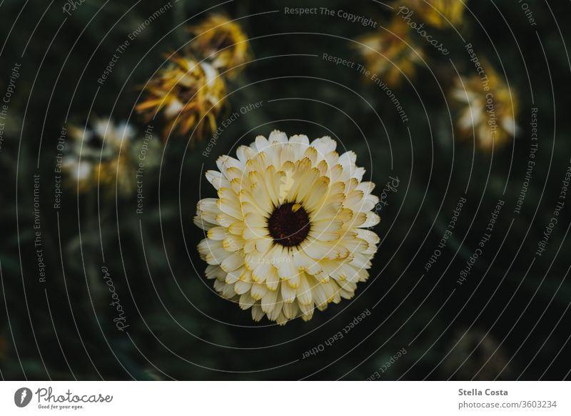 gelbe Dahlien Blume Blumen Makro Nahaufnahme Pflanze dahlien detail detailaufnahme natur sommer Gartenblume Gartenpflanzen Warme Farbe Blütezeit Blütenpflanze