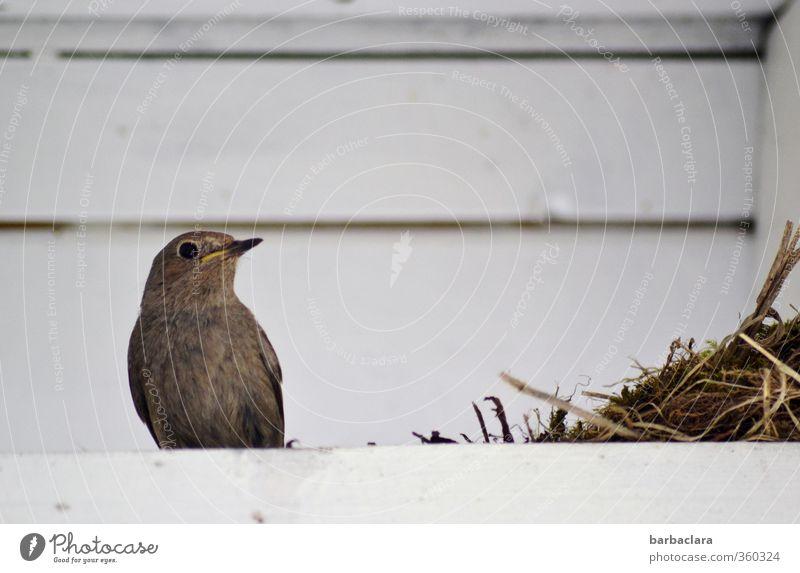Untermieter | Dachwohnung Natur Tier Haus Leben Holz Vogel Häusliches Leben Wachstum Zukunft Dach Schutz Sorge Geborgenheit Fürsorge bauen füttern