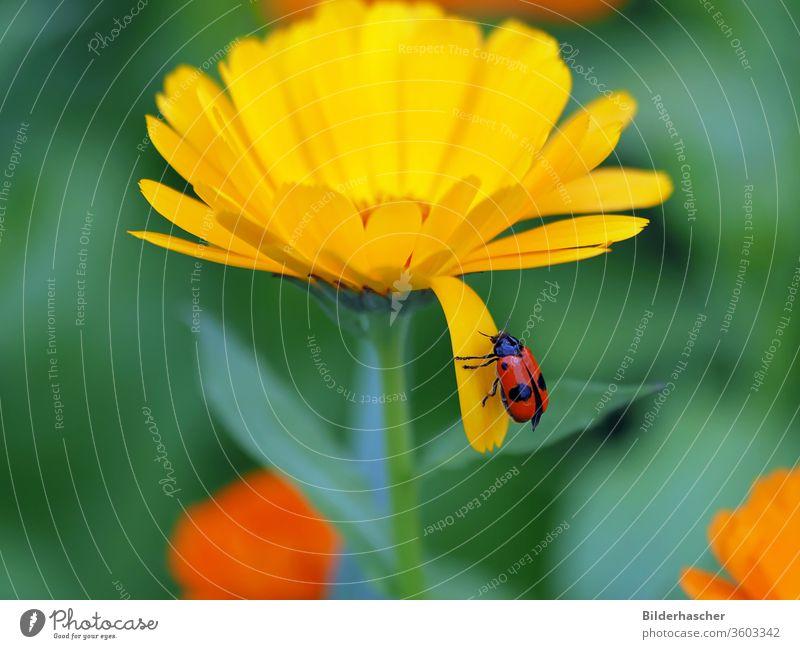 Ameisensackkäfer auf den Blütenblatt einer Ringelblumenblüte ameisenblattfäfer blattkäfer ameisensackkäfer vierpunkt insekt schwarz fleck rot ringelblume Tier