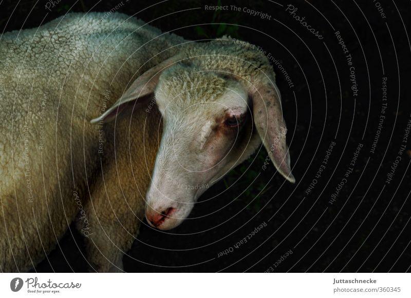 Wo bleibt denn der Heinrich? weiß Tier Umwelt Idylle stehen niedlich einzigartig Neugier Weide Bauernhof Schaf Nutztier Schafswolle