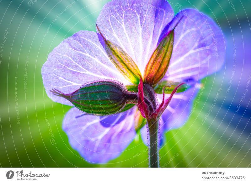Blüte eines Wiesenstorchenschnabel im Hintergrund Strahlt eine Angedeutete Sonne ihre strahlen aus. Blaues Schabelkraut Botonik Geranium Pratense Gewächs