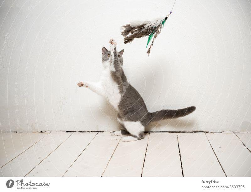 junge verspielte britisch Kurzhaar katze spielt mit Federspielzeug vor einer weißen Wand Katze Haustiere Rassekatze britische Kurzhaarkatze fluffig Fell