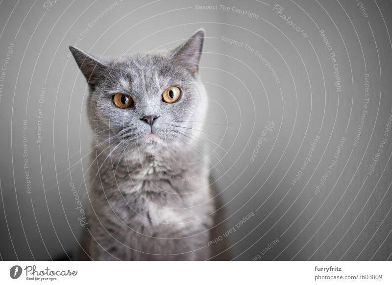 Porträt einer schönen britischen Kurzhaarkatze, die mit Kopierraum in die Kamera schaut Katze Haustiere Rassekatze britische Kurzhaarkatze fluffig Fell