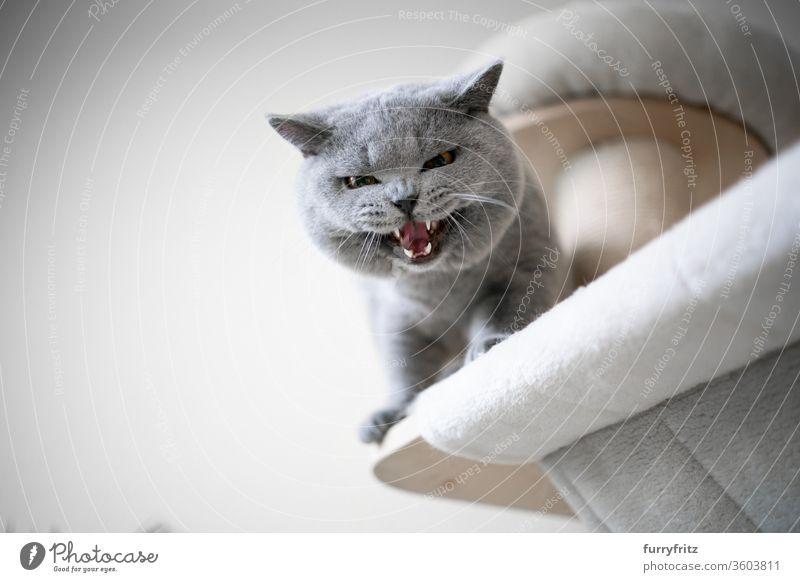 blaue britische Kurzhaarkatze, die vom Kratzbaum nach unten schaut, miauend oder zischend Zähne zeigt Katze Haustiere Rassekatze Sisal fluffig Fell katzenhaft