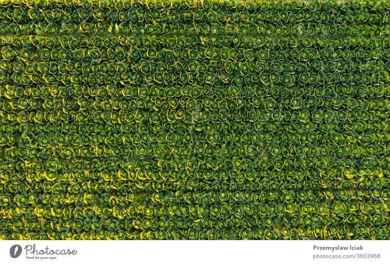 Sonnenuntergang über einem Kohlfeld - Luftaufnahme von oben Kohlgewächse Feld grün Natur Ackerbau Bauernhof Pflanze Landschaft Lebensmittel organisch Wachstum