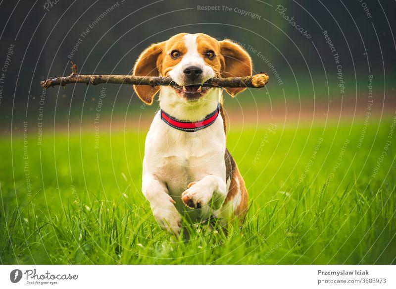 Beagle-Hund mit einem Stock auf einer grünen Wiese rennt im Frühling auf die Kamera zu. laufen springen Haustiere Gehorsam in Richtung Spaß kleben Feld Glück