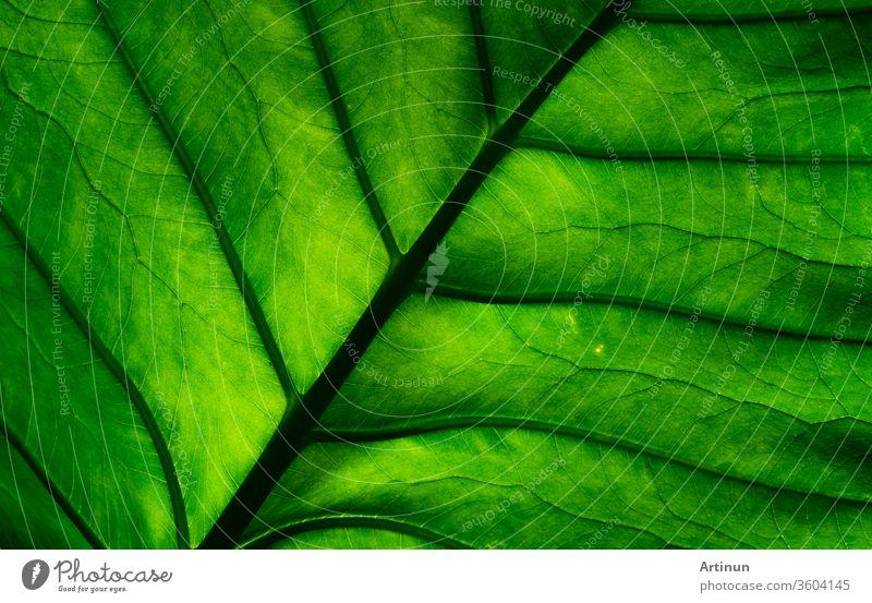 Makroaufnahme Detail des grünen Blattes. Natürlicher Hintergrund mit grüner Blatttextur. Hintergrund für Bio-Produkte. abstrakt Kunst Schönheit botanisch