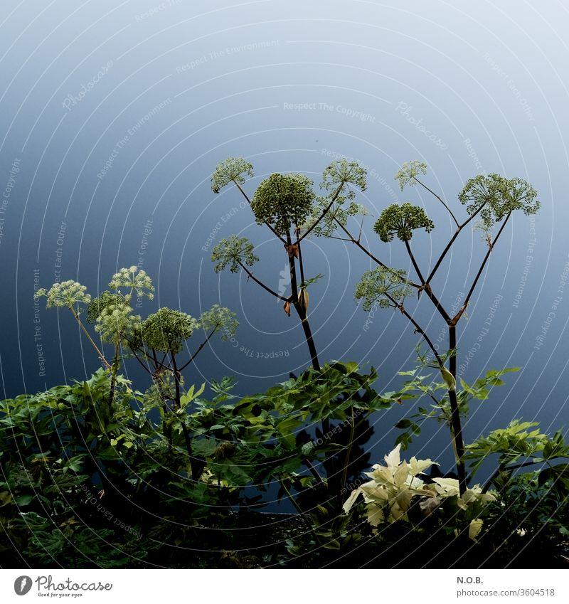 Blütenstände auf blau grün Pflanze Farbfoto Stimmung moody Außenaufnahme schön Menschenleer Blühend Wachstum Umwelt natürlich ästhetisch Natur