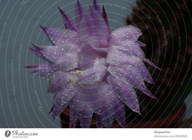 Sommerblüte mit Regentropfen mehrjährig Nahaufnahme Natur Garten bluten Außenaufnahme Farbfoto Menschenleer natürlich Makroaufnahme Farbe Detailaufnahme Blumen