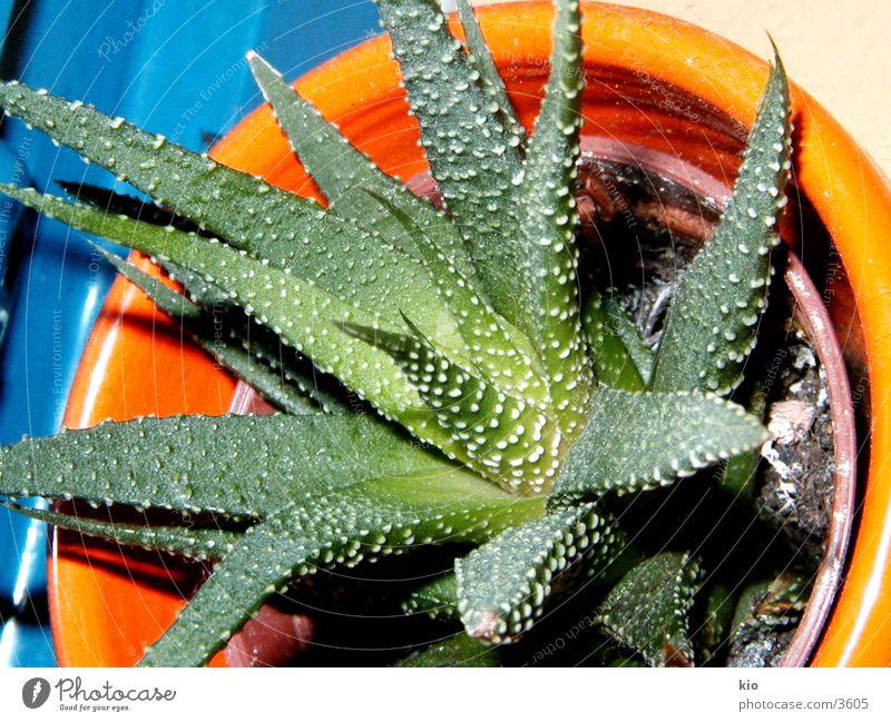mein baby Natur Pflanze Kaktus Makroaufnahme