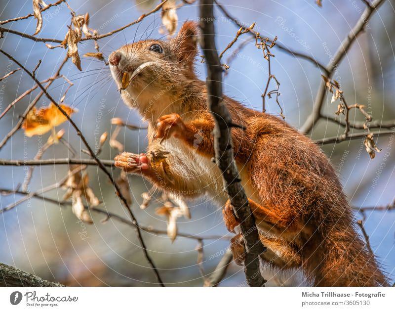 Kletterndes Eichhörnchen im Baum Sciurus vulgaris Tiergesicht Kopf Nase Augen Ohren Pfoten Krallen Fell Wildtier Natur fressen knabbern Sonnenlicht