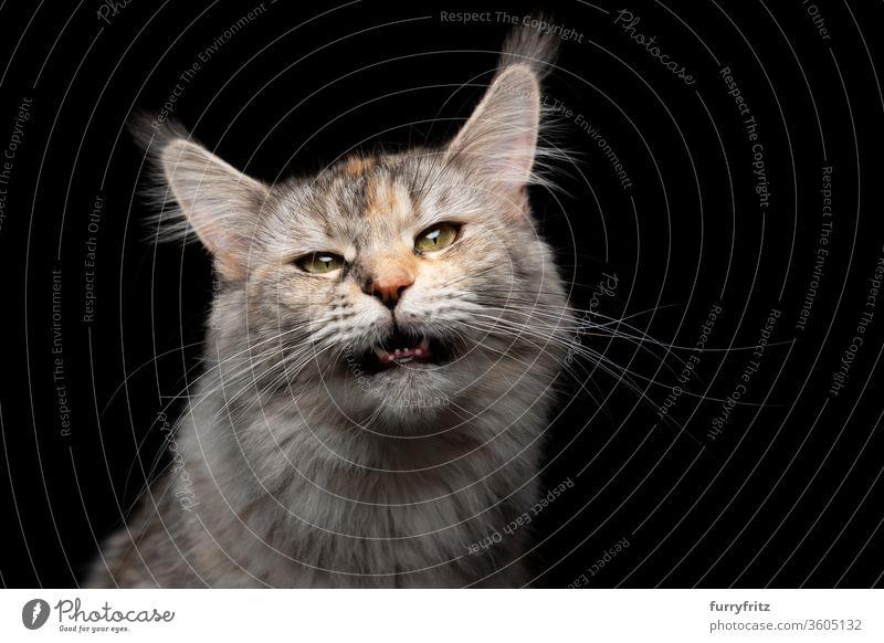 Tabby Maine Coon Katze miaut mit offenem Maul und schaut in die Kamera Haustiere Rassekatze maine coon katze Studioaufnahme schwarzer Hintergrund Textfreiraum