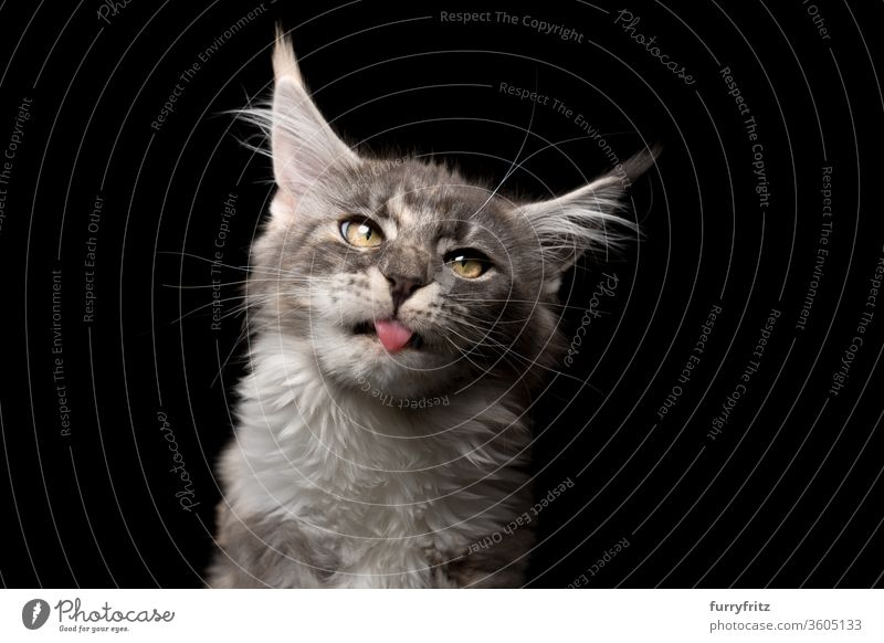 süßes Maine Coon Kätzchen mit herausgestreckter Zunge, das ein albernes Gesicht macht Katze Haustiere Rassekatze maine coon katze Studioaufnahme