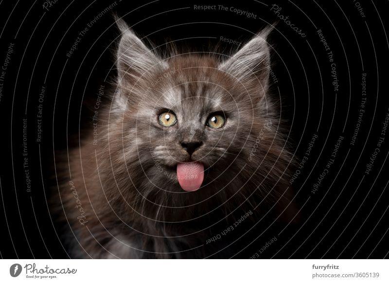 freches junges Maine Coon Kätzchen streckt die Zunge heraus Katze Haustiere Rassekatze maine coon katze Studioaufnahme schwarzer Hintergrund Textfreiraum
